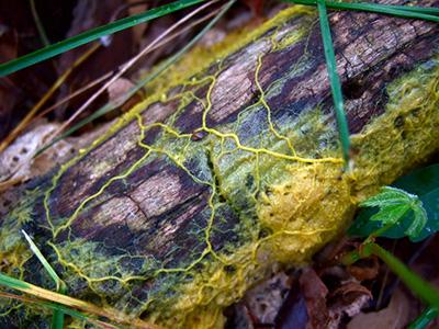 A nyálkagomba összekapcsolt csövek hálózatát építi ki táplálékkeresés közben. (Forrás: Frankenstoen/CC BY)